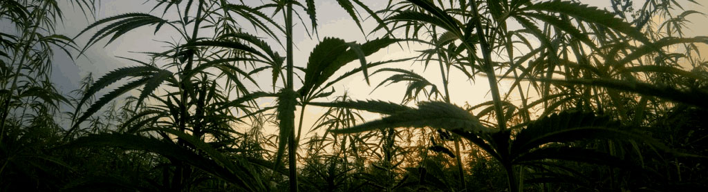 a field of cannabis plants are set against the sunset