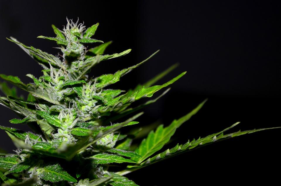 best marijuana strain, online weed delivery Kingston, online weed shop Kingston